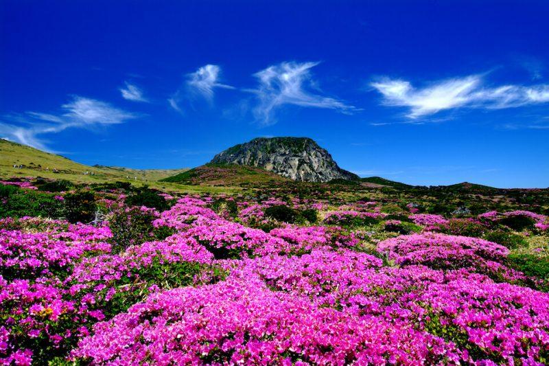 Jeju Flower